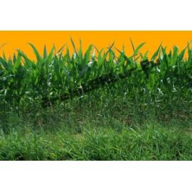 Maize N°01
