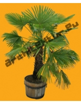 Small Palm Tree N°02