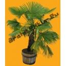 Palmier Jeune N°02 en Pot