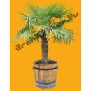 Palmier Jeune N°03 en Pot