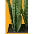 Plante N°10 Agave
