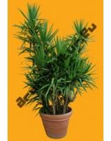 Shrub N°11 Yucca