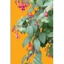 Plante N°12 Fuschia