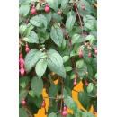 Shrub N°12 Fuschia