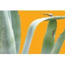 Plante N°13 Agave