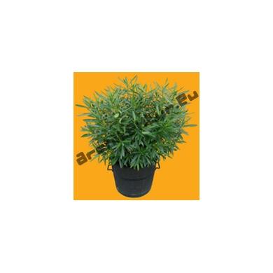 Plante N°14 Laurier