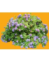 Plante N°26 Hortensia