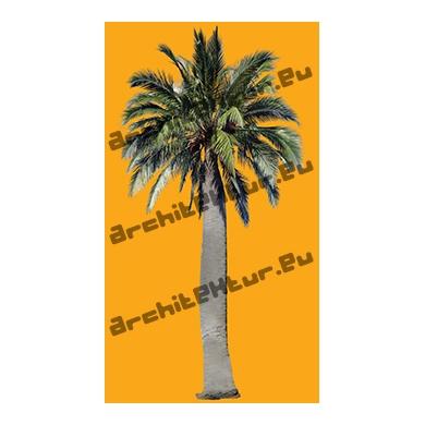 Palmier Australie