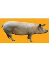 Cochon N°01