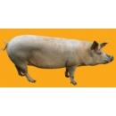 Pig N°01