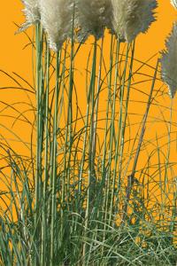 texture herbe de la pampa n 01 architextur. Black Bedroom Furniture Sets. Home Design Ideas